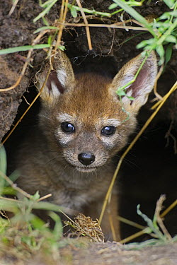Black-backed Jackal (Canis mesomelas) pup, four weeks old, peeking out of den, Masai Mara, Kenya  -  Suzi Eszterhas