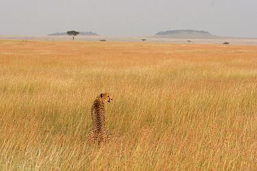 Cheetah (Acinonyx jubatus) female scanning the plain at dusk in the Masai Mara National Reserve, Kenya  -  Suzi Eszterhas
