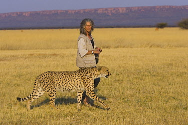 Cheetah (Acinonyx jubatus) named Chewbaaka, raised by Laurie Marker after rescue from a trap as a 3 week old, Kenya  -  Suzi Eszterhas