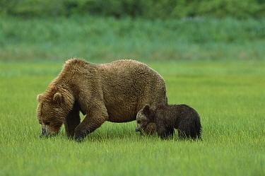 Grizzly Bear (Ursus arctos horribilis) mother and cub eating sedge grass, Katmai National Park, Alaska  -  Suzi Eszterhas