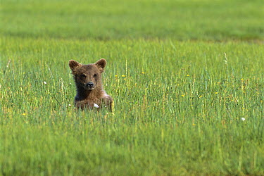 Grizzly Bear (Ursus arctos horribilis) cub in sedge grass, Katmai National Park, Alaska  -  Suzi Eszterhas