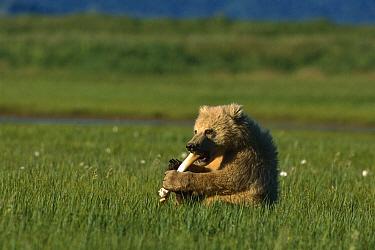 Grizzly Bear (Ursus arctos horribilis) cub chewing on bone, Katmai National Park, Alaska  -  Suzi Eszterhas