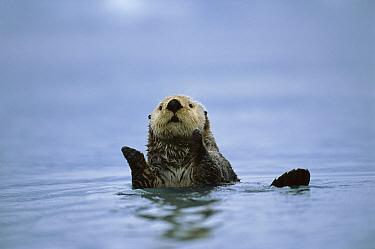 Sea Otter (Enhydra lutris), Prince William Sound, Alaska  -  Suzi Eszterhas