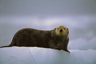 Sea Otter (Enhydra lutris) male hauled out on ice floe, Prince William Sound, Alaska  -  Suzi Eszterhas