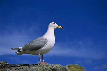 Glaucous-winged Gull (Larus glaucescens), Prince William Sound, Alaska  -  Suzi Eszterhas
