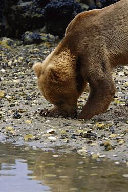 Grizzly Bear (Ursus arctos horribilis) digging for clams, Katmai National Park, Alaska  -  Suzi Eszterhas