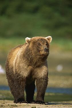 Grizzly Bear (Ursus arctos horribilis) female on tidal flats, Katmai National Park, Alaska  -  Suzi Eszterhas