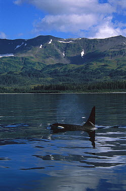 Orca (Orcinus orca) male surfacing, Prince William Sound, Alaska  -  Suzi Eszterhas
