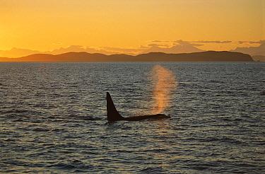 Orca (Orcinus orca) male surfacing at sunset, Prince William Sound, Alaska  -  Suzi Eszterhas