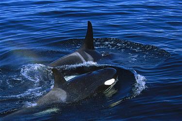 Orca (Orcinus orca) pair surfacing, Prince William Sound, Alaska  -  Suzi Eszterhas