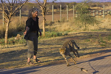 Cheetah (Acinonyx jubatus) named Kaini, a ten month old female rescued from a trap on a livestock farm, getting exercise from Dr. Laurie Marker, Cheetah Conservation Fund, Namibia  -  Suzi Eszterhas