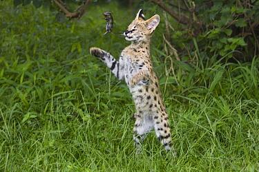 Serval (Leptailurus serval) kitten, thirteen week old orphan playing with mouse, Masai Mara, Kenya  -  Suzi Eszterhas