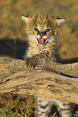 Serval (Leptailurus serval) kitten, two and a half week old, orphan playing on log and calling, Masai Mara, Kenya  -  Suzi Eszterhas