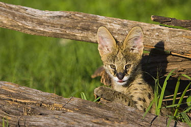 Serval (Felis serval) kitten, thirteen week old orphan, Masai Mara, Kenya  -  Suzi Eszterhas