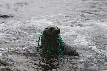 South American Fur Seal (Arctocephalus australis) sub-adult with fishing net around its neck, Hercules Bay, South Georgia Island  -  Suzi Eszterhas