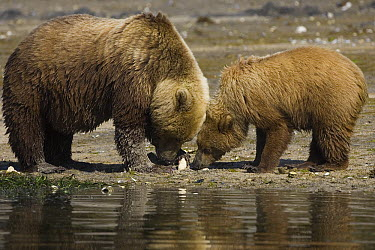 Grizzly Bear (Ursus arctos horribilis) mother and one and a half year old cub digging for clams, Katmai National Park, Alaska  -  Suzi Eszterhas