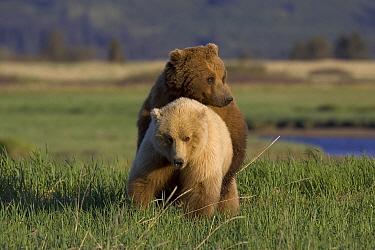 Grizzly Bear (Ursus arctos horribilis) pair mating, Katmai National Park, Alaska  -  Suzi Eszterhas