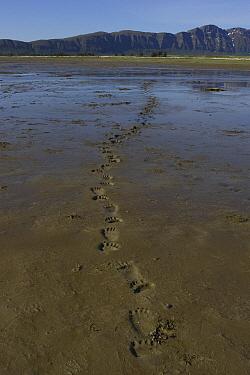 Grizzly Bear (Ursus arctos horribilis) tracks in mud, Katmai National Park, Alaska  -  Suzi Eszterhas