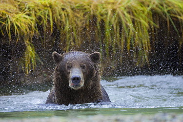 Grizzly Bear (Ursus arctos horribilis) shaking in water, Katmai National Park, Alaska  -  Suzi Eszterhas