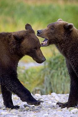 Grizzly Bear (Ursus arctos horribilis) pair play-fighting, Katmai National Park, Alaska  -  Suzi Eszterhas