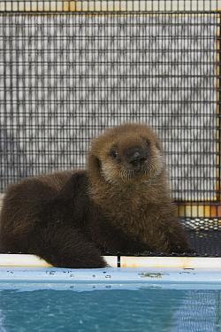 Sea Otter (Enhydra lutris) pup in rehabilitation center, California  -  Suzi Eszterhas