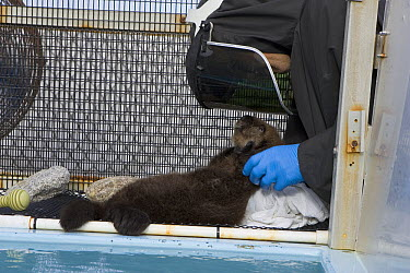 Sea Otter (Enhydra lutris) pup in rehabilitation center getting dried off, California  -  Suzi Eszterhas