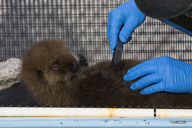 Sea Otter (Enhydra lutris) pup in rehabilitation center getting groomed, California  -  Suzi Eszterhas