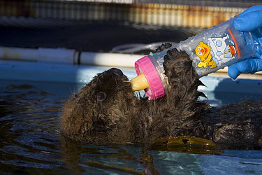 Sea Otter (Enhydra lutris) pup in rehabilitation center drinking milk, California  -  Suzi Eszterhas