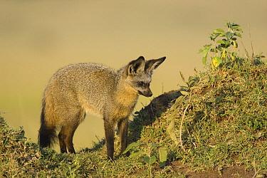 Bat-eared Fox (Otocyon megalotis) near hillside, Masai Mara, Kenya  -  Suzi Eszterhas