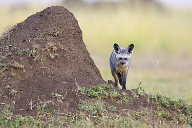Bat-eared Fox (Otocyon megalotis) beside old termite mound, Masai Mara, Kenya  -  Suzi Eszterhas
