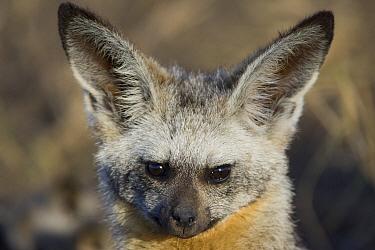 Bat-eared Fox (Otocyon megalotis) portrait, Masai Mara National Reserve, Kenya  -  Suzi Eszterhas