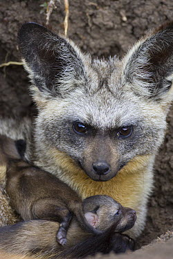 Bat-eared Fox (Otocyon megalotis) parent with five day old pups at den entrance, Masai Mara National Reserve, Kenya  -  Suzi Eszterhas