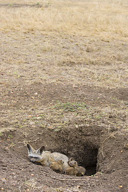Bat-eared Fox (Otocyon megalotis) parent with fifteen day old pups at den, Masai Mara National Reserve, Kenya  -  Suzi Eszterhas
