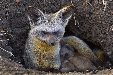 Bat-eared Fox (Otocyon megalotis) parent with nine day old pups at den, Masai Mara National Reserve, Kenya  -  Suzi Eszterhas