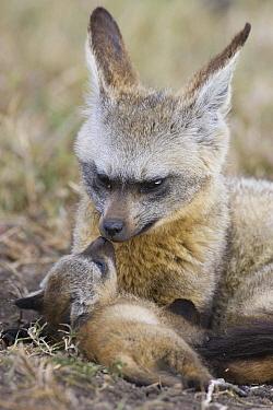 Bat-eared Fox (Otocyon megalotis) parent grooming four week old pup, Masai Mara National Reserve, Kenya  -  Suzi Eszterhas
