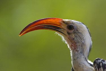 Red-billed Hornbill (Tockus erythrorhynchus), Sarara Camp, Namunyak Wildlife Conservancy, Kenya  -  Suzi Eszterhas