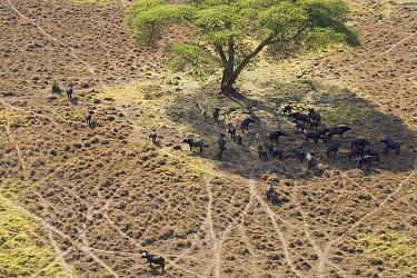 Cape Buffalo (Syncerus caffer) herd resting in shade, Lewa Wildlife Conservancy, Kenya  -  Suzi Eszterhas