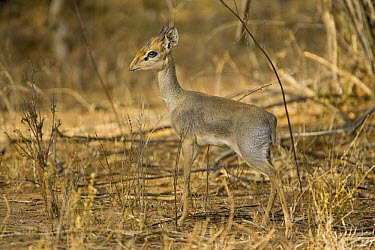 Kirk's Dik-dik (Madoqua kirkii), Sarara Camp, Namunyak Wildlife Conservancy, Kenya  -  Suzi Eszterhas