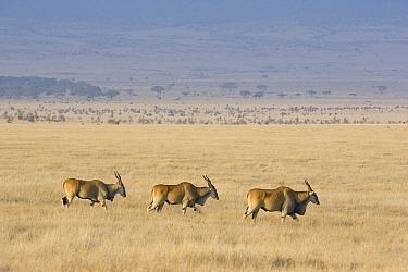 Eland (Taurotragus oryx) trio walking in grassland, Lewa Wildlife Conservancy, Kenya  -  Suzi Eszterhas