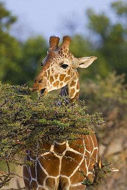 Reticulated Giraffe (Giraffa reticulata) browsing, Lewa Wildlife Conservancy, Kenya  -  Suzi Eszterhas