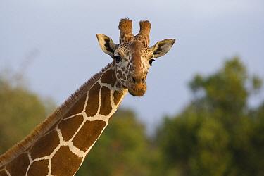 Reticulated Giraffe (Giraffa reticulata) portrait, Lewa Wildlife Conservancy, Kenya  -  Suzi Eszterhas