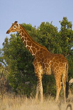 Reticulated Giraffe (Giraffa reticulata), Lewa Wildlife Conservancy, Kenya  -  Suzi Eszterhas