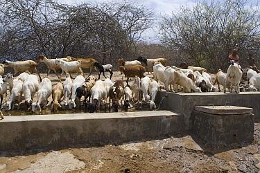 Domestic Goat (Capra hircus) group drinking at Namunyak Wildlife Conservancy water project well, Kenya  -  Suzi Eszterhas