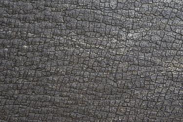 Black Rhinoceros (Diceros bicornis) skin, Lewa Wildlife Conservancy, Kenya  -  Suzi Eszterhas