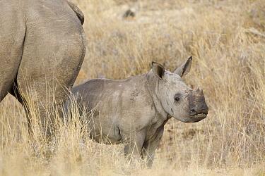 White Rhinoceros (Ceratotherium simum) calf, Lewa Wildlife Conservancy, Kenya  -  Suzi Eszterhas
