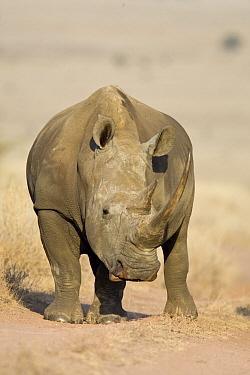White Rhinoceros (Ceratotherium simum), Lewa Wildlife Conservancy, Kenya  -  Suzi Eszterhas