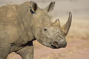 White Rhinoceros (Ceratotherium simum) portrait, Lewa Wildlife Conservancy, Kenya  -  Suzi Eszterhas