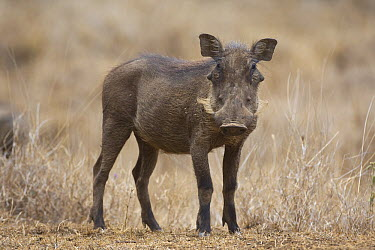 Cape Warthog (Phacochoerus aethiopicus), Lewa Wildlife Conservancy, Kenya  -  Suzi Eszterhas
