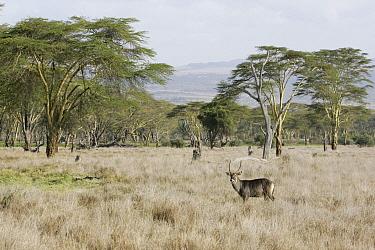 Defassa Waterbuck (Kobus ellipsiprymnus defassa) on savanna landscape, Lewa Wildlife Conservancy, Kenya  -  Suzi Eszterhas