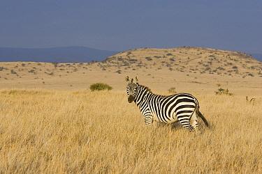 Burchell's Zebra (Equus burchellii) in grassland, Lewa Wildlife Conservancy, Kenya  -  Suzi Eszterhas